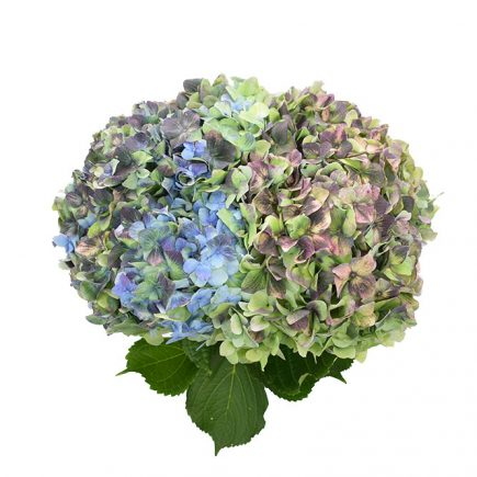 Jumbo Blue Antike, hydrangeas for weddings, fresh cut flowers