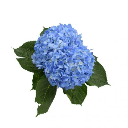Select Shocking Blue, hydrangeas for weddings, fresh cut flowers