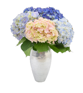 hydrangeas for weddings, fresh cut flowers