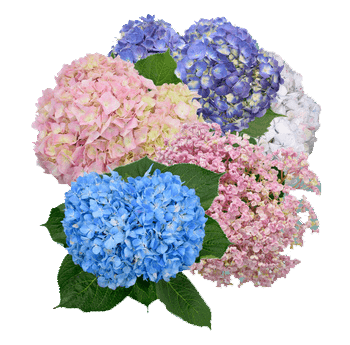 Assorted Hydrangeas